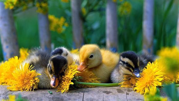 Incubarea artificială a ouălor de rață și gâscă