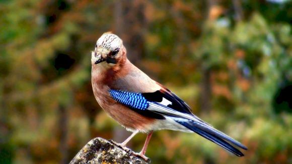 Gaița albastră (Garrulus glandarius)