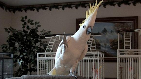 Nu ne crede pe cuvânt, doar privește: papagalul care îți va da lecții de dans! VIDEO