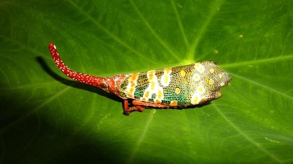 Cicada cu felinar – insecta care seamănă cu un unicorn