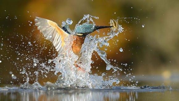 După 6 ani şi 720.000 de încercări, a realizat fotografiile extraordinare cu această pasăre mirifică – Galerie Foto