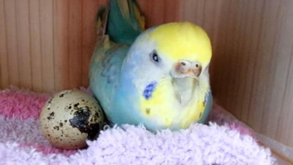 Un papagal a primit cadou un ou de la supermarket şi l-a clocit până a apărut un pui din el - VIDEO