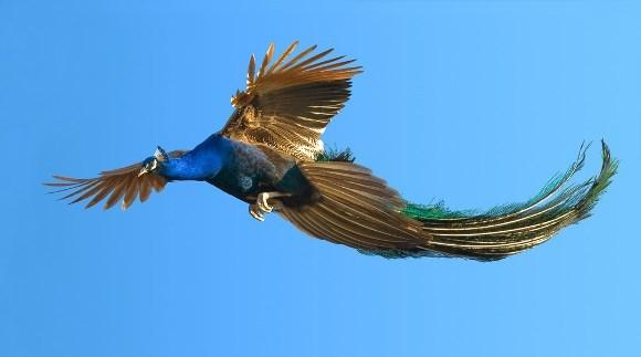 Fascinaţia zborului: imagini superbe cu păuni înălţându-se la cer - Galerie Foto