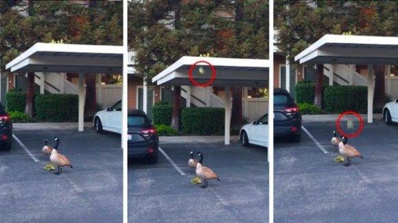 Boboci de gâscă nevoiți să sară de pe un acoperiș, sub ochii părinților – VIDEO
