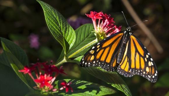 Misterul marii migrației a fluturilor monarhi a fost rezolvat. Cum reușesc să faca una dintre cele mai fascinante călătorii din lume - VIDEO