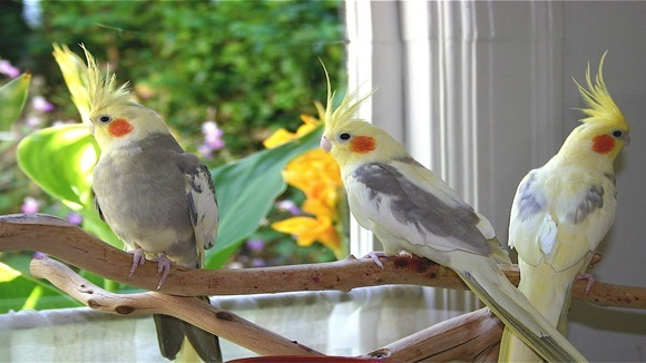 Tot ce trebuie să ştii despre îngrijirea papagalului nimfă