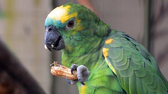 Hrană papagali: 6 alimente pe care să nu le daţi niciodată papagalului vostru