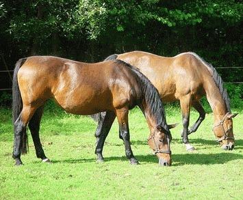 Colica - un pericol mortal pentru cai