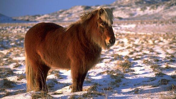 Poneiul islandez, puritate de pe tărâmurile îngheţate