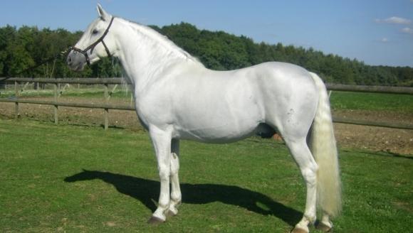 Calul Albino - istoric, caracteristici fizice şi temperament