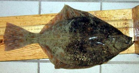 Cambula de liman sau Pleuronectes flesus
