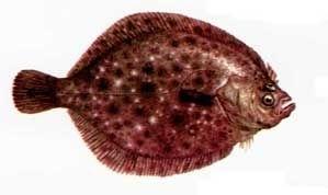 Calcanu de mare sau Scophthalmus maeoticus