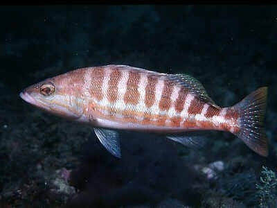 Bibanul de acvariu sau Serranus cabrilla