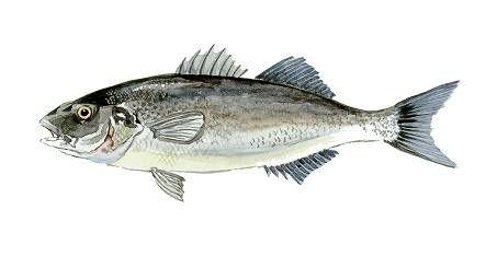 Lupul de mare sau Dicentrarchus Labrax