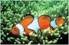 Pestele clovn sau Amphiprion percula