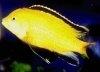 Labidochromis caerulus