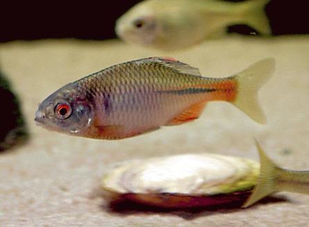 Boarta (Rhodeus amarus)