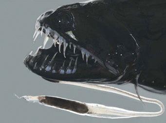 Dragonul negru (Idiacanthus atlanticus)