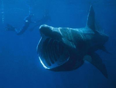 Rechinul urias (Cetorhinus maximus)