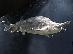Sturionul Beluga  (Huso huso)