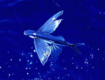 Curiozitati ale naturii: pestii zburatori