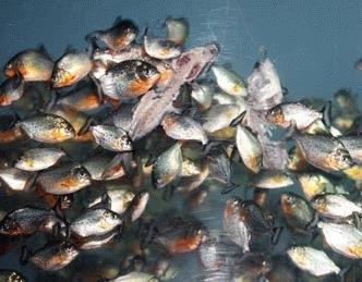 Pestii Piranha - mit sau realitate?