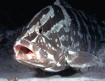 Pestele de recif Epinephelus striatus