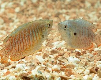 Gourami - o pata de culoare in acvariul cu apa dulce