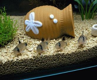 Corydoras - viata pe fundul acvariului