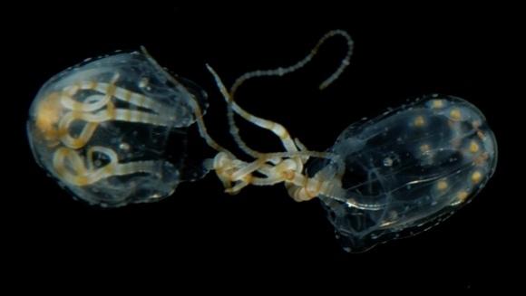 Cum se înmulţesc meduzele