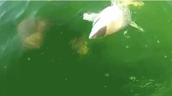 Un peşte uriaş a mâncat un rechin dintr-o înghiţitură - VIDEO