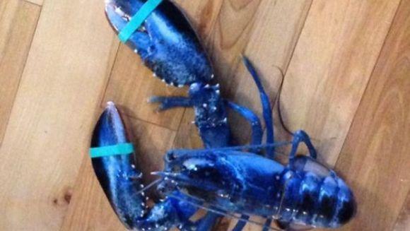 Captură uimitoare: Un specimen de homar... albastru