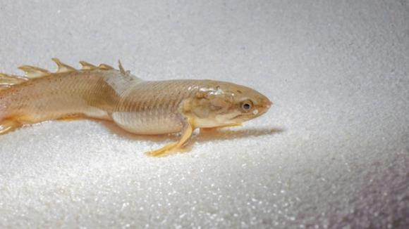 Peştele mergător – noi informaţii despre evoluţia omului pe Pământ