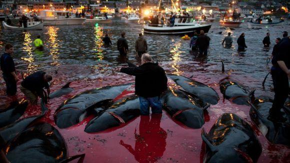 Masacrul balenelor, cea mai barbară tradiție, veche de 1000 de ani