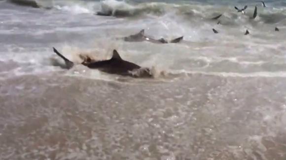 Sute de rechini au invadat o plajă din North Carolina