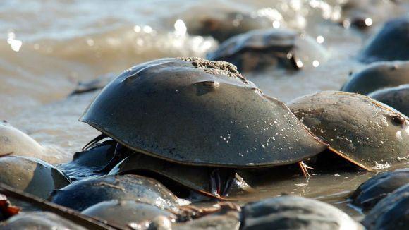 Crabul potcoavă - peştele fosilă?