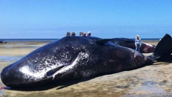 Imagine cutremurătoare: şapte balene au eşuat pe o plajă din Australia -VIDEO