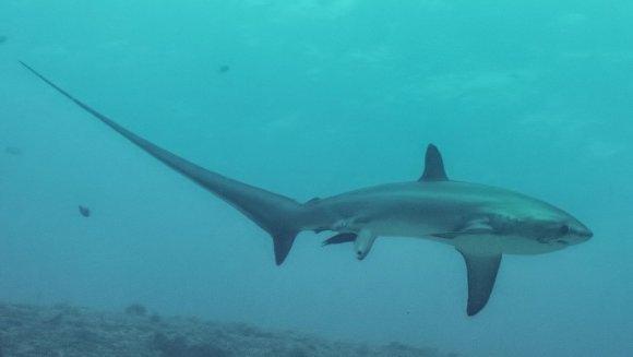 Naşterea unei specii rare de rechin, surprinse pe cameră