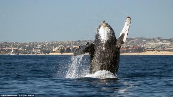 Balena cu cocoașă, spectacol fascinant în natură - VIDEO
