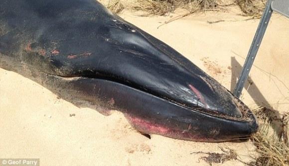 Balena Omura, văzută pentru a doua oară în 200 de ani