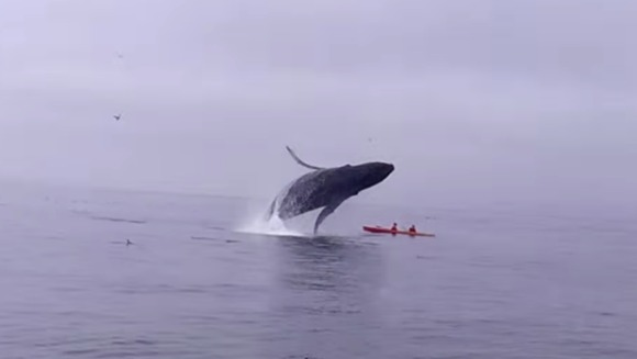 A sărit balena peste ei, în timp ce se plimbau în caiac. Final tragic sau amintire de neuitat?