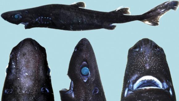 Oamenii de ştiinţă au descoperit rechinul care străluceşte în întuneric