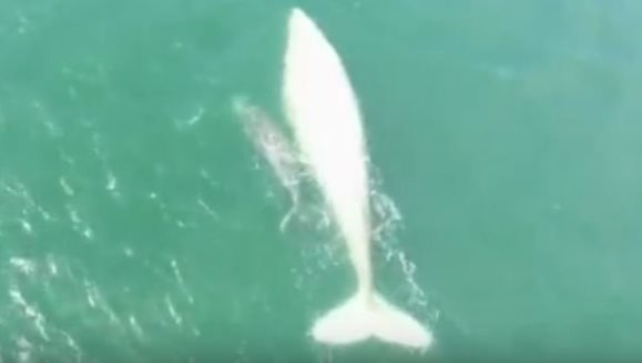 Una dintre cele mai frumoase balene din lume a fost văzută din nou, după şapte ani. Ce surpriză a mai adus ea - VIDEO