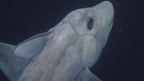 Rechin-fantomă, filmat pentru prima oară în 300 de milioane de ani. Are penisul pe cap – VIDEO