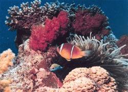 Poluarea innegreste coralii