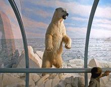 Arcticul si ursii polari, vedetele incalzirii globale