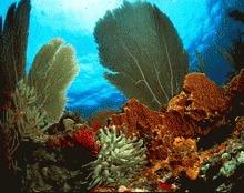 Coralii din Caraibe dispar din cauza schimbarilor climatice