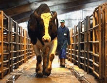 India cere lumii sa renunte la carnea de vita
