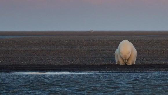 S-a dus în Alaska să fotografieze urşi polari în zăpadă – dar acolo nu mai era zăpadă! Imaginile cutremurătoare - Galerie foto