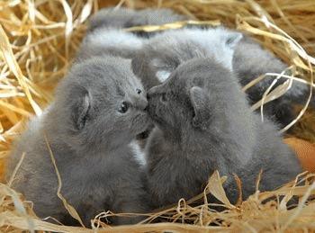 Pisicile Chartreux - pisicile aristocrate